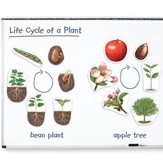 Εικόνα της Μαγνητικός κύκλος ζωής ενός φυτού.