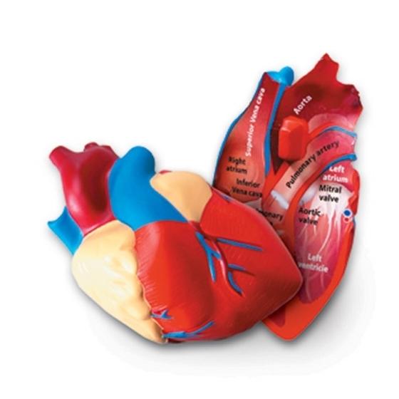 Εικόνα της Αφρώδες μοντέλο καρδιάς.