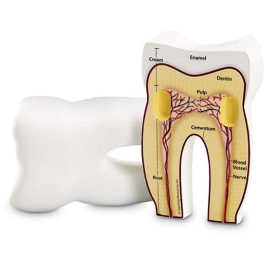 Εικόνα της Αφρώδες μοντέλο δοντιού
