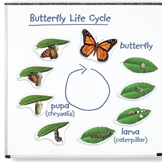 Εικόνα της Μαγνητικός Κύκλος Ζωής Πεταλούδας