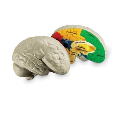 Εικόνα της Αφρώδες μοντέλο εγκεφάλου